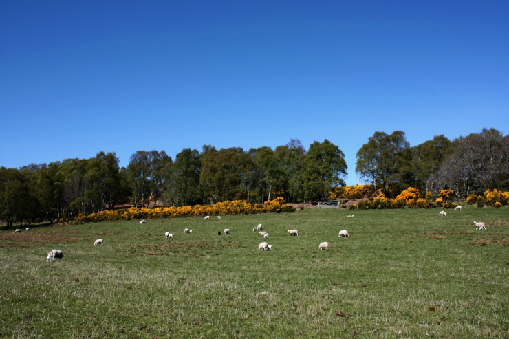 Coulmore Cheviot Ewes and Lambs