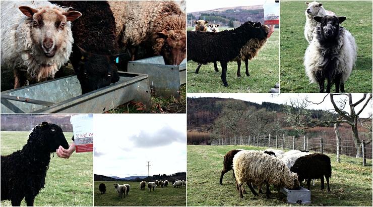 Helendale Shetlands