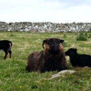 Icelandic ewe and lambs