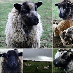 Meadows Flock