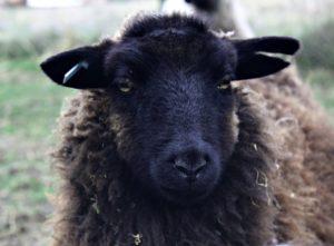 Meadows Flock shetland hogg sm