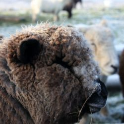 ryeland-ewe
