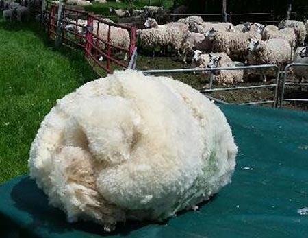 cheviot-fleece
