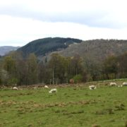 Orrinside Flock grazing with views towards Cannich and Affric sm