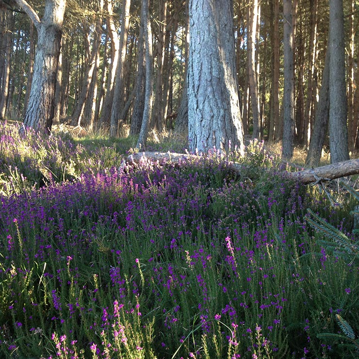 Scots pine and heather in a favourite wood